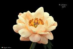 I COLORI DELLA NATURA. (Salvatore Lo Faro) Tags: verde nature nikon natura giallo fiore rosso salvatore bellezza d300 peonia lofaro