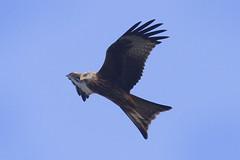 Red Kite (Prank F) Tags: red kite bird nature wildlife prey wildlifetrust northantsuk titchmarshlnr
