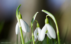 February fairmaids (is.hollmann) Tags: white flower macro spring bokeh outdoor blumen snowdrops frhling schneeglckchen weis februaryfairmaids
