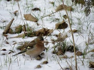 Common (Eurasian) Chaffinch.