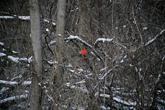 Cardinals in Rochester (ecuabron) Tags: red snow ny bird cardinal upstate