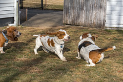 IMG_6125 (BFDfoster_dad) Tags: hound basset