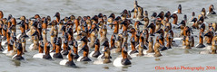 Lots Of Canvasbacks (suszkoglen) Tags: red ducks diving heads