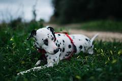 Guilty (Leo Hidalgo (@yompyz)) Tags: espaa dog love film animal canon photography eos reflex spain random cam like perro explore create dslr dalmatian fuengirola mlaga mijas 6d fotografa dlmata vsco ileohidalgo yompyz