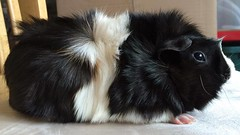 Maximillien, male Abyssinian guinea pig
