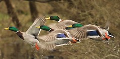 Mallards in flight (GrahamParryWildlife) Tags: blue orange brown green yellow grey flight ducks mallard takeoff coloursofnature duckflight grahamparrywildlife