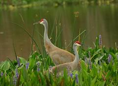 Sandhill Cranes...Wellington, Florida (ozoni11) Tags: bird nature birds nikon florida crane cranes ornithology sandhillcranes sandhillcrane michaeloberman ozoni11