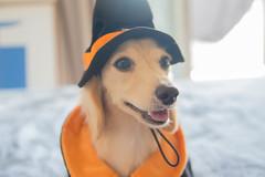 IMG_3257 (yukichinoko) Tags: dog halloween dachshund 犬 kinako ハロウィン ダックスフント ダックスフンド きなこ