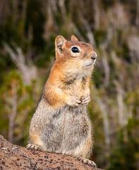 Uh...Hello? (eddm1962) Tags: oregon squirrel rant dontfeedtheanimals goldenmantledgroundsquirrel josephoregon