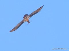 Gypaetus barbatus met nestmateriaal (Jef Dockx) Tags: bartgeier beardedvulture gypaetusbarbatus lammergier gypatebarbu nestmateriaal