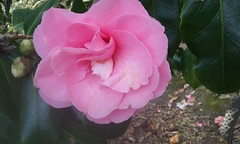 Camellia (sftrajan) Tags: sanfrancisco goldengatepark pink flower strybingarboretum camelia camellia botanicgarden botanicalgarden jardinbotanico jardinbotanique botanischergarten  sanfranciscobotanicgarden botanisktrdgrd