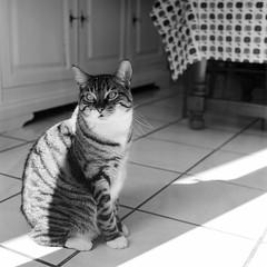 (David Gaborit) Tags: blackandwhite blancoynegro cat chat noiretblanc gato fujiacros rolleiflex28e carlzeissplanar80mmf28 kodakxtol