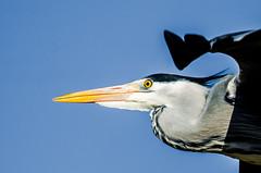 Grey heron Close Up (phat5toe) Tags: nature birds nikon wildlife flight feathers lancashire penningtonflash avian wigan flashes greyheron wader greenheart d7000 sigma150500