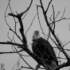 65/366 - Ice Harbor Bald Eagle (sdgiere) Tags: blackandwhite square baldeagle iowa mississippiriver dubuque
