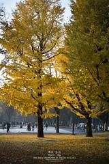 Yellow Tokyo (Pop_narute) Tags: park autumn cloud tree fall leave nature yellow japan season tokyo ginkgo ueno