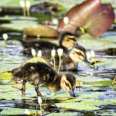 pacific black duck(ling)s (Fat Burns ☮) Tags: bird fauna duck ducklings waterbird bribieisland australianbird pacificblackduck anassuperciliosa australianfauna buckleyshole nikond750 sigma150600mmf563dgoshsmsports sigmateleconvtc1401nik