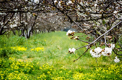 Cherry blossom (Bruce_of_Oz) Tags: cherry blossom kodak voigtlander 400uc bessamatic cherryorchard 1354 dynarex