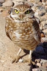 Burrowing Owl (Athene cunicularia). (cbrozek21) Tags: bird owl athenecunicularia burrowingowl beautifulbird owlcloseup