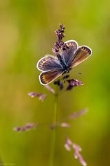 AT0A8967 (Ferdinand23) Tags: insectes papillons plebejusargus papillonsdejour lycenidea rhopalocredejour petitargusazurdelajoncplebejusargus