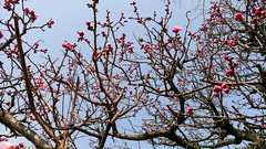Japanese Plum (ume) Blossoms (cw's) Tags: japanese plum umeblossoms