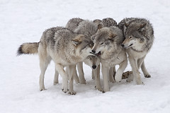 Wolf Pack (Eunice Gibb) Tags: canada forest quebec wildlife parc parcomega forestanimals montebello canadianwildlife canadiananimals quebecwildlife