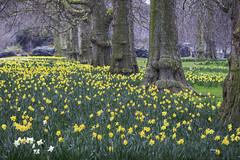 St. James Park (julesnene) Tags: travel england london garden spring long unitedkingdom buckinghampalace gb stjamesspark stjamessparklake julesnene juliasumangil canon7dmarkii canon7dmark2