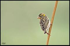 Black Breasted Weaver (Arshad Aashraf) Tags: pakistan birds ilovenature nikon birdseyeview naturephotography naturelover sialkot natureimages birdsofpakistan nikkor600mmf4 birdslover headmarala ilovewildlife nikond4s naturellover