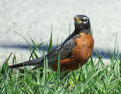 Robin (kendoman26) Tags: bird robin fuji fujifinepix niksoftware nikcolorefex4pro fujifinepixs1