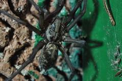 Eratigena atrica - House Spider (Procrustes2007) Tags: uk england spider suffolk britain wildlife arachnid flash sudbury housespider closeuplens wildlifephotography greatcornard nikond90 eratigenaatrica afsnikkor1855eddx gridreftl883407 d90wednesdaynightspiders