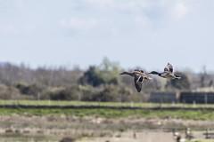 Mallards in Flight (2) (Mal.Durbin Photography) Tags: nature birds newport naturereserve newportwetlands maldurbin goldcliffnewport