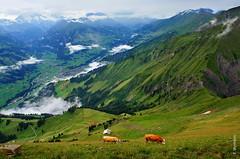 Niesen (welenna) Tags: summer mist mountain mountains alps green animals fog landscape switzerland tiere kuh cow nebel view swiss natur berge alpen niesen berneroberland schwitzerland