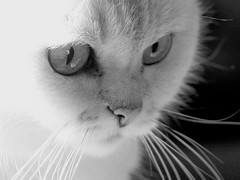 =^..^= (Ker Kaya) Tags: bw monochrome nb cat kerkaya panasonic lumix light fz200 portrait black white whiskers eyes cute sweet look kitty fdekerkaya ker kaya artist photography dmcfz200 kerkayaphotography