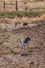 160310-Spring Migration-1 (Lynnette_) Tags: birds animals march spring nebraska seasons events places cranes rivers month sandhillcranes 2016 springmigration platterivervalley naturesubjects cranemigration cranescootsandrails
