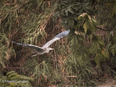 Bird Flying (David Cucalón) Tags: naturaleza david bird nature animal flying pajaro volando cucalon davidcucalon
