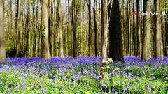 Hallerbos - 07 (Ld\/) Tags: blue brussels flower fleur bluebells forest fleurs carpet spring belgium belgique belgie magic bruxelles tapis april avril halle fort enchanted tourisme hallerbos 2016 rgion flandre flamande bruxelloise