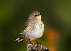 Yellow-rumped Warbler (Patricia Ware) Tags: california canon bravo handheld palosverdes audubonsyellowrumpedwarbler specanimal setophagacoronataauduboni httppwarezenfoliocom 2016patriciawareallrightsreserved