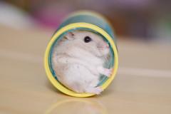DSC_6583 () Tags: pet animal hamster
