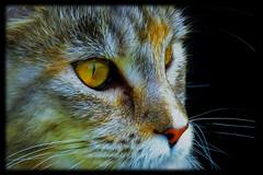 In der Nacht sind alle Katzen grau - alle? (eagle1effi) Tags: female cat chat colorful pussy mainecoon felini katze dappled housecat muschi domesticcat maincoon ppc felis miezi felissilvestris felissilvestriscatus hauskatze felinae effiart miezigracesilvana