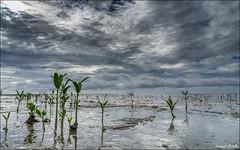 Des paltuviers poussent le long du littoral d'Awala-Yalimapo en Guyane. La mangrove se forme. (Laurent Asselin) Tags: mer cte ciel mangrove nuages paysage rivage ocan guyane awalayalimapo paltuviers