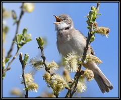 Whitethroat. (Carl Bovis Nature Photography) Tags: uk england nature singing song somerset levels warbler rspb whitethroat somersetlevels hamwall