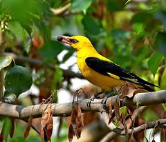 Indian Golden Oriole (venugopal bsnl) Tags: googleimages spotbilledduck goldenoriole serilingampally venugopalbsnl