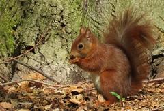 Eating (Elisa1880) Tags: red netherlands squirrel den nederland hague haag bos vulgaris the haagse eekhoorn sciurus