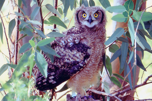 Spotted Eagle-Owl, Bubo capensis, sub-adult, just after leaving nest site,