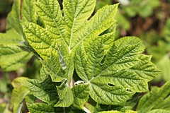 Sherwood Gardens ~ full frame of Spring green (karma (Karen)) Tags: leaves gardens dof bokeh maryland baltimore brightcolors sherwoodgardens 4spring