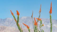 Ocotillo (Fouquieria splendens) (ER Post) Tags: california statepark park plant trips desertplant anzaborregodesertstatepark ocotillofouquieriasplendens californiatrip2016