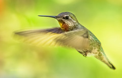 Total Sweetness (jeanmarie shelton) Tags: bird colors hummingbird bokeh wildanimal annashummingbird jeanmarie wildbird jeanmarieshelton