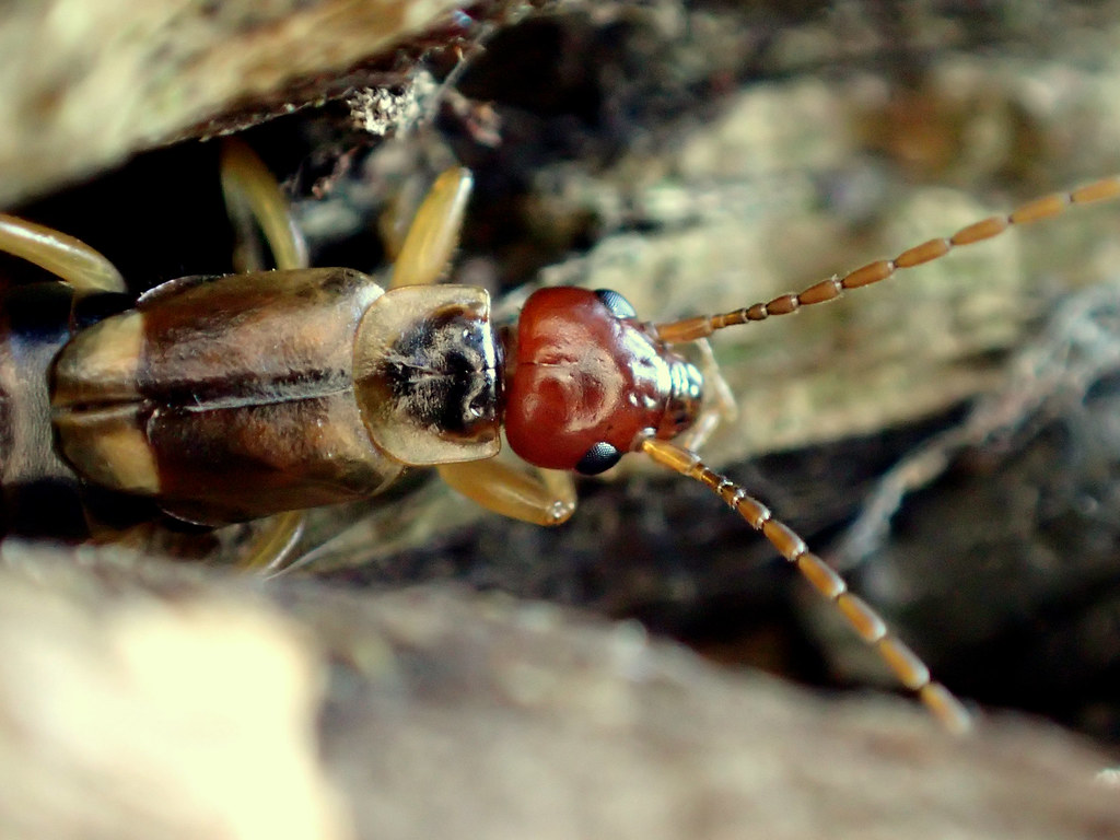 Life Cycle Of Earwig: The World's Best Photos Of Dermaptera And Nature
