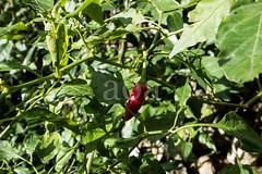 H504_3169 (bandashing) Tags: red england plant hot green fruit garden manchester pepper foliage chilli sylhet bangladesh socialdocumentary hothothot aoa bandashing akhtarowaisahmed
