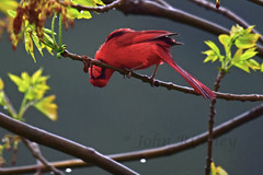 Cardinal in the rain (ritchey.jj) Tags: cardinal