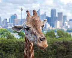 Giraffe - Taronga Zoo Sydney (info_hhs) Tags: animal canon zoo interesting flickr wildlife sydney australia giraffe sydneyharbour tarongapark 100mmf20 1dmarkiii